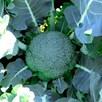 Broccoli Seeds - Gemini F1