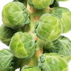 Brussels Sprout Continuity Coll' (21)