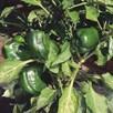 Pepper Sweet Seeds - Californian Wonder