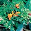 Pepper Sweet Seeds - F1 Mohawk