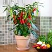 Chilli Pepper Patio Plant - Hot Fajita