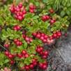 Mountain Cranberry Seeds