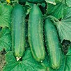 Cucumber Seeds - Crocodile