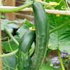 Cucumber Seeds - F1 Bush Champion