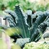 Kale Black (12)