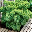 Kale Seeds - Dwarf Green Curled