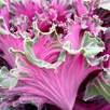 Kale  Buttonhole Kale Starmaker