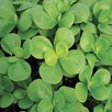 Purslane Seeds - Green