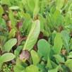 Salad Leaves Seeds - Mild and Sweet