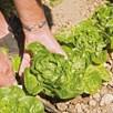 Lettuce Vailan Winter Gem (20)
