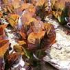 Lettuce Seeds - Dixter