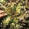Lettuce Seeds - Red Salad Bowl