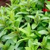 Herb Plant - Mint Spear