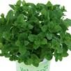 Mint Marokko (3) Botanical Infusions