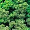 Herb Plant - Parsley, Curled