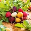 Radish Seeds - Rainbow Mix