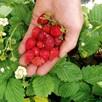 Strawberry Seeds - Regina