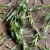Mexican Tarragon  Seeds
