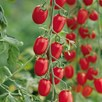 Grafted Tomato Plants - Nutrient Collection