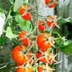 Tomato Sungold (3)