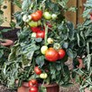 Tomato Seeds - F1 Big League