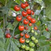 Grafted Tomato Plant - F1 Sweet Petit