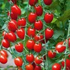 Tomato Grafted Collection (6) P10