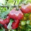 Tomato Seeds - F1 Brandy Boy