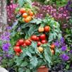 Tomato F1 Summerlast