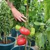 Tomato F1 Crimson Blush