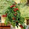 Tomato Topsy Tom (3)