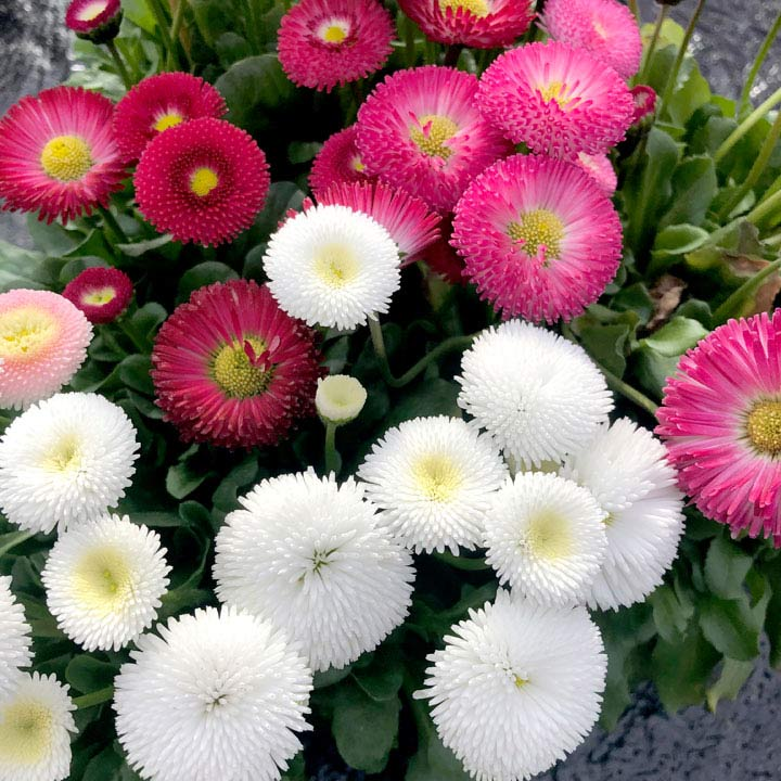 Bellis Plants Bellisima Mixed Suttons